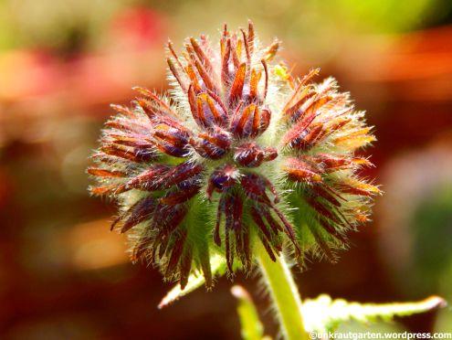 Blütenknope