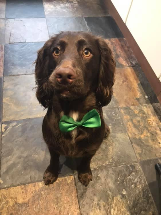 handsome dog in bow tie