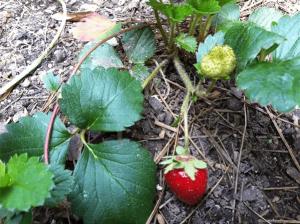 Strawberries Growing In My Back Garden