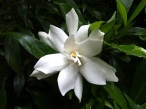Gardenia from my June Garden