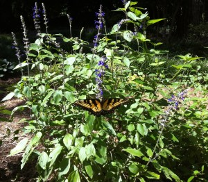 Butterfly on the salvia in my garden