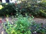 Pineapple Sage Growing In My Organic Garden