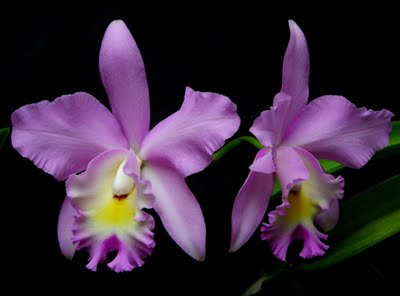 From My Blog: At Last, I Have Laeliocattleya Angel by Catherine Carrigan