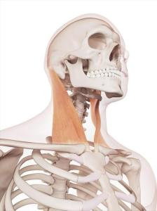 neck muscle 224x300 - Forward Head Posture Correction Exercise - FIX Ugly Texting Neck
