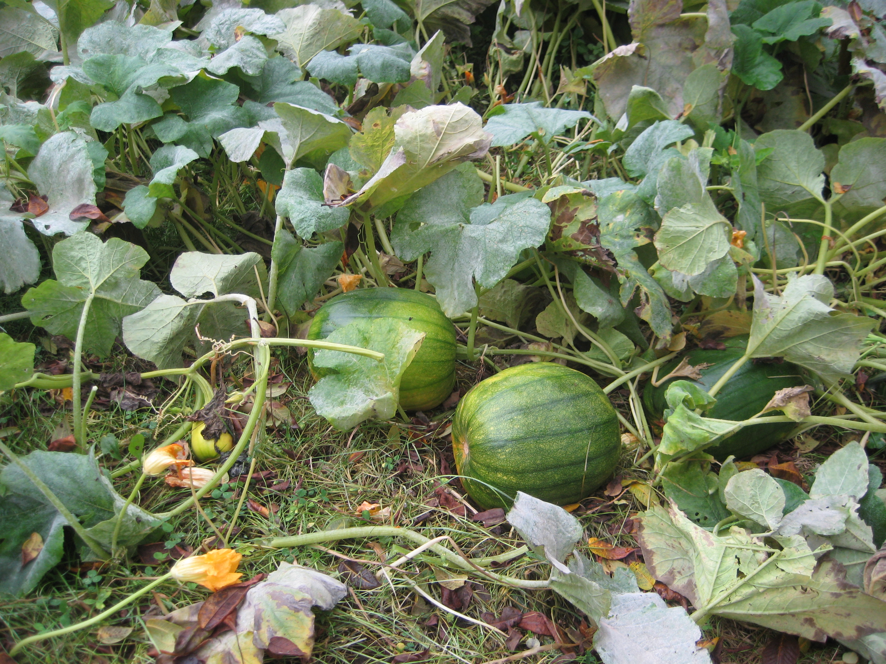 The Mystery Of The Singing Pumpkins