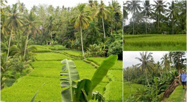 bali terrazas arroz