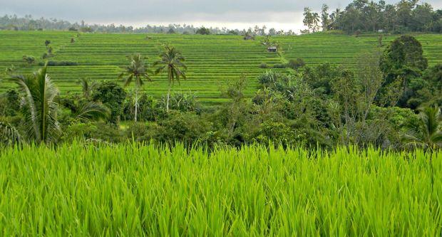 bali bancales de arroz