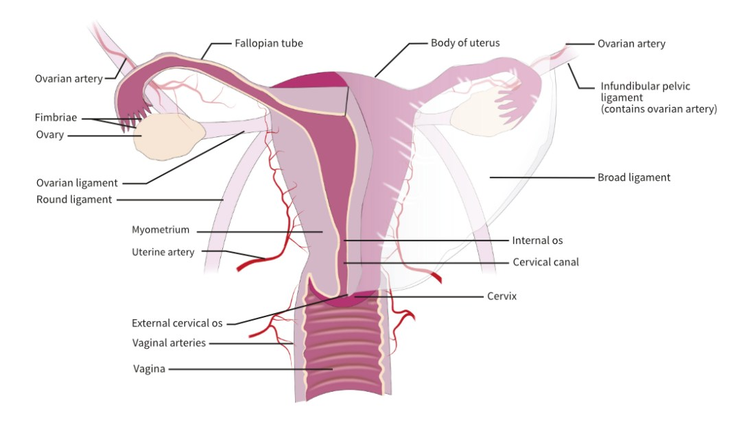 Anterior aspect of the internal female organs.