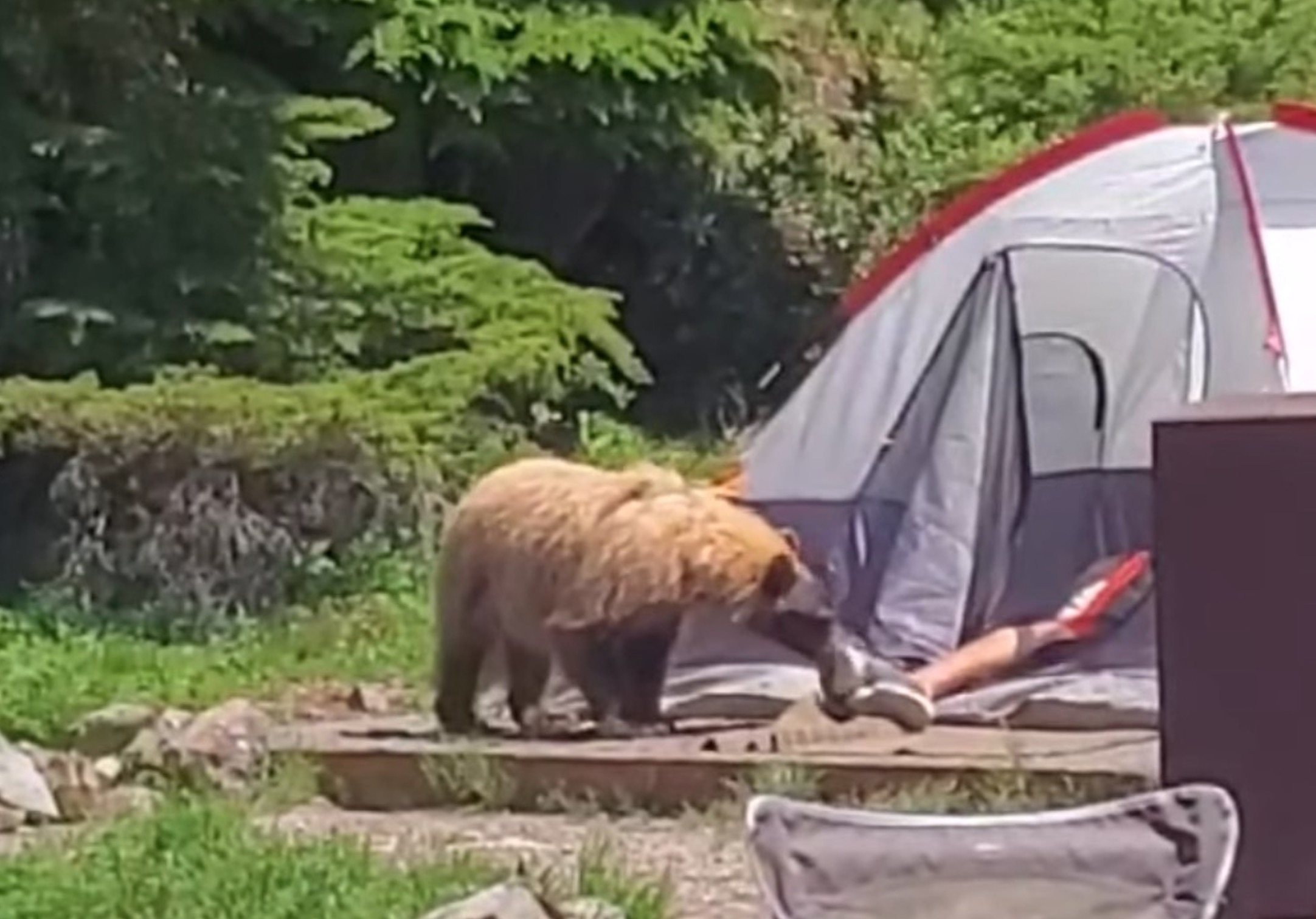 VIDEO: Curious Bear Wakes Up Camper @ Mount Rainer National Park