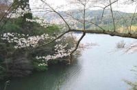 鹿児島の桜の見ごろはいつ?2015オススメ名所スポットの開花・駐車場情報
