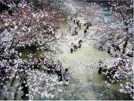 山口県の桜の満開はいつ?オススメ花見スポット情報2015
