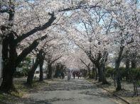愛知 桜 花見スポット2015!ライトアップや屋台がでる名所は?