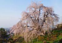 山形の桜の名所と穴場は?開花時期と駐車場情報ならここ!