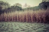 Campos de maiz