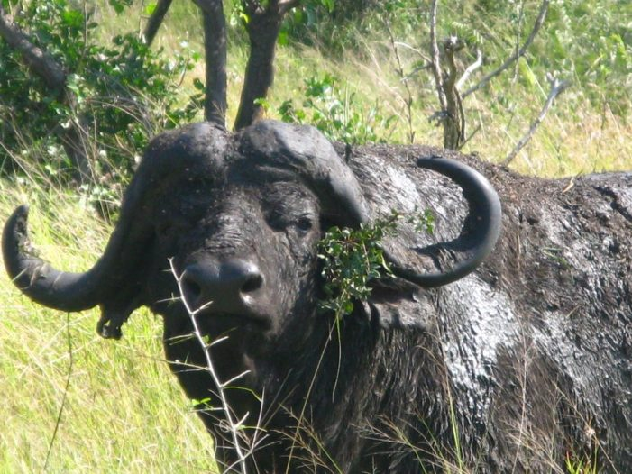 South Africa Safari Bison