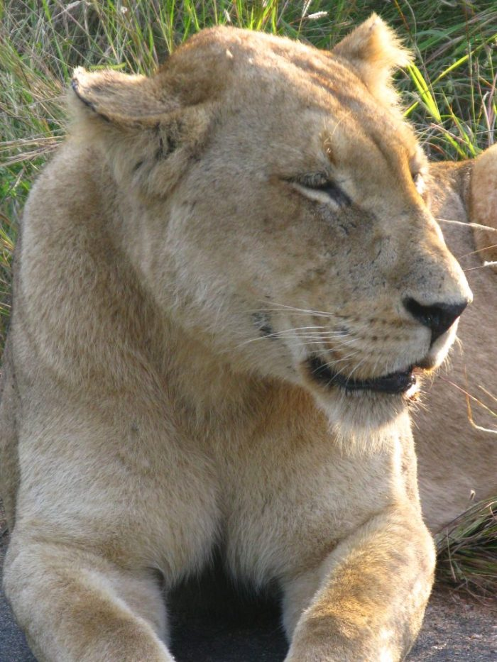 South Africa Safari lioness