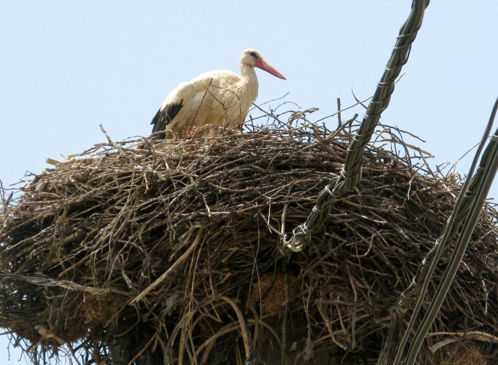 Ráckeve Stork
