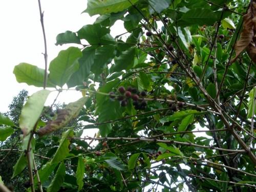 Beans on a bush