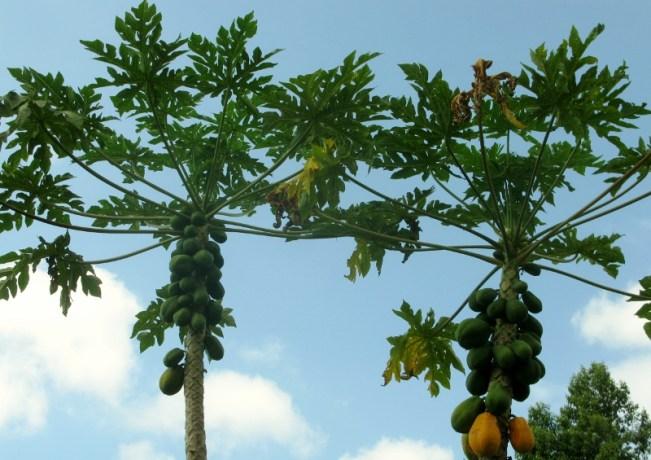Guava trees
