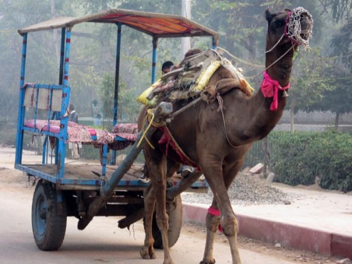 Agra camel