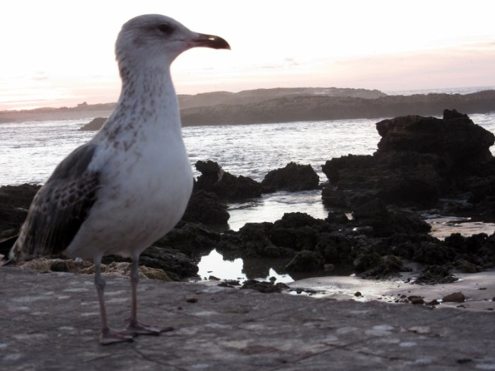 Essaouira seagull