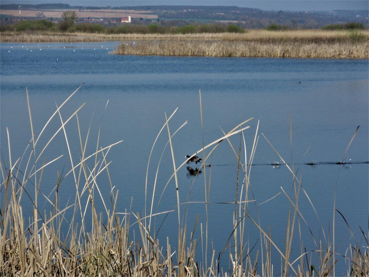 Bird skimming the water in the Kis-Balaton