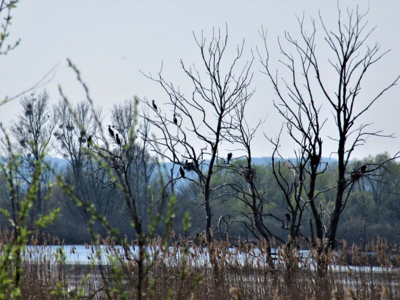 Cormorants in Kis-Balaton