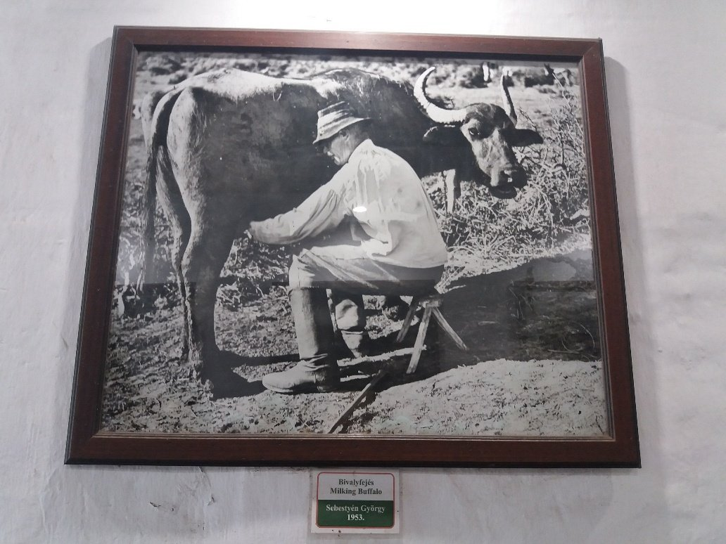 picture of a man milking a buffalo