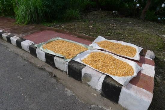 Maïs séchant sur le trottoir