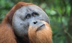 Mâle orang-outan