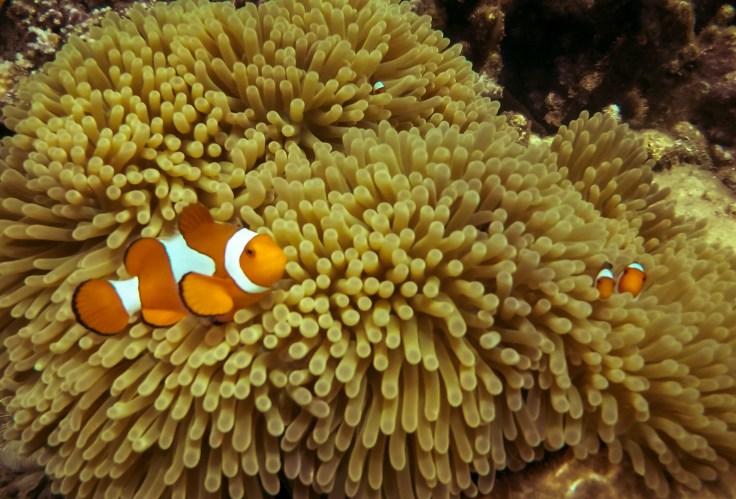 Anémone avec poissons clowns - Pemuteran - prise de vue en apnée