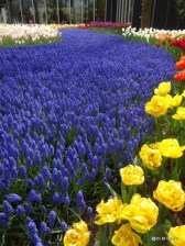 Tapis de tulipes