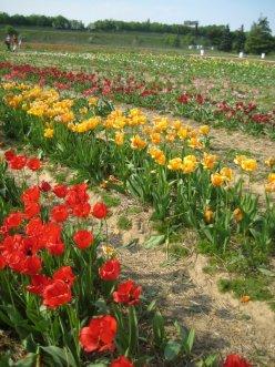 Champs de tulipes rouges et jaunes