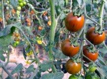 Gros plan de tomates cérise