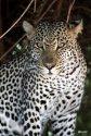 leopard-samburu-kenya