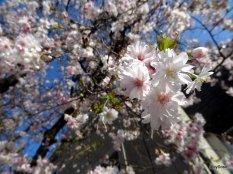 Fleur-de-cerisier-prunus-Berne