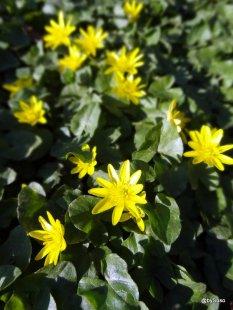 Fleurs-jaunes-Berne-printemps
