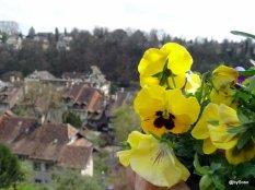 Pensees-printemps-Berne