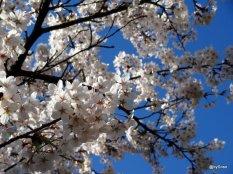 Rosengarten-cerisier-Berne