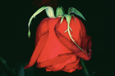Fleur Rondeau (Flower Rondeau) 1997 épreuve Cibachrome H. 60 cm ; L. 90 cm kamel mennour, Paris, inv. NA249 © Nobuyoshi Araki/Courtesy Taka Ishii Gallery