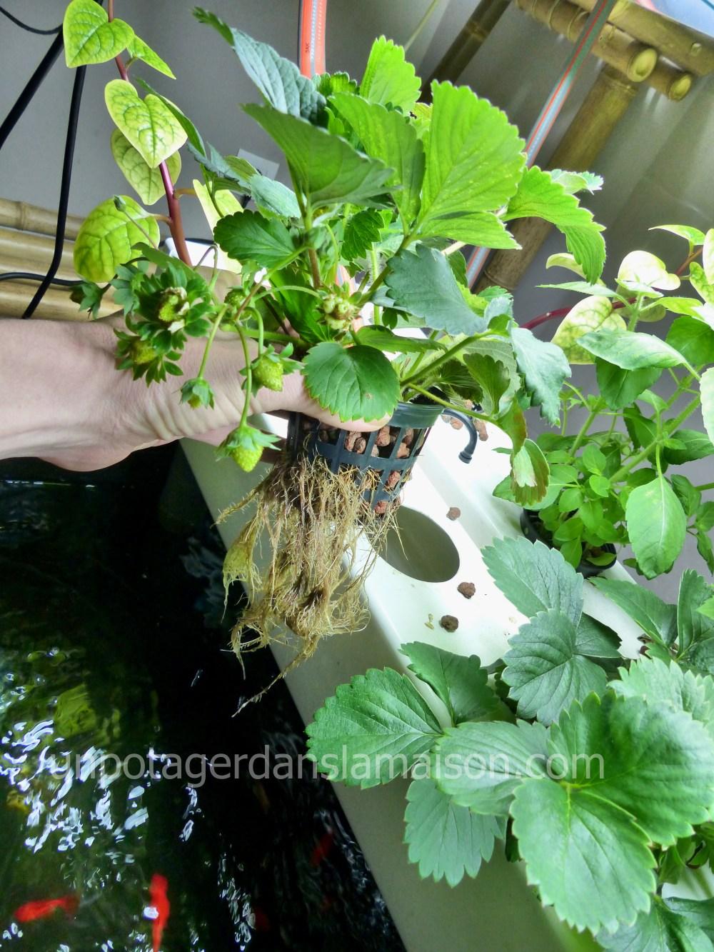 Racines aquaponie aéroponie fraise