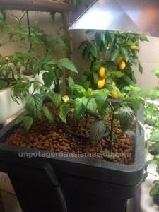 Piments black hungarian, jalapeno et jamaïcain au premier plan, citronnier meyer au fond.