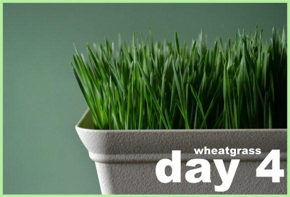 Wheatgrass Day 4