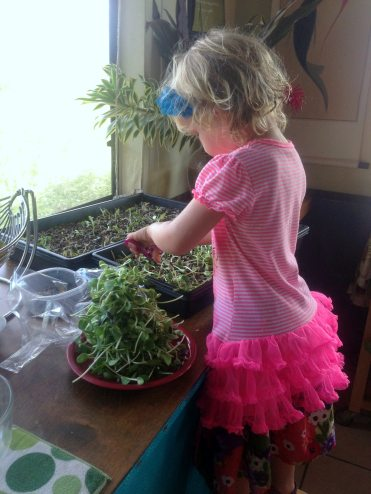 Mohala harvesting sprouts.