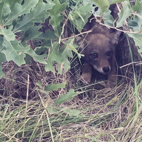 Coyote Pup in Oak Leaves
