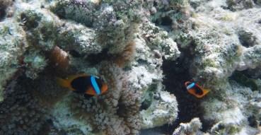 Clown Fish Mare