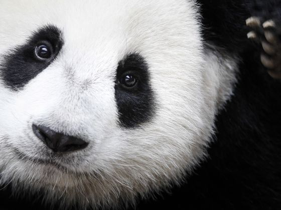 A giant panda named Nuan Nuan is shown at the Giant Panda Conservation Center at the National Zoo in Kuala Lumpur, Malaysia. Photo: AP