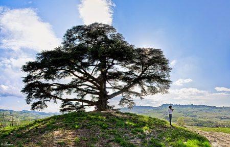 Cedro del Líbano