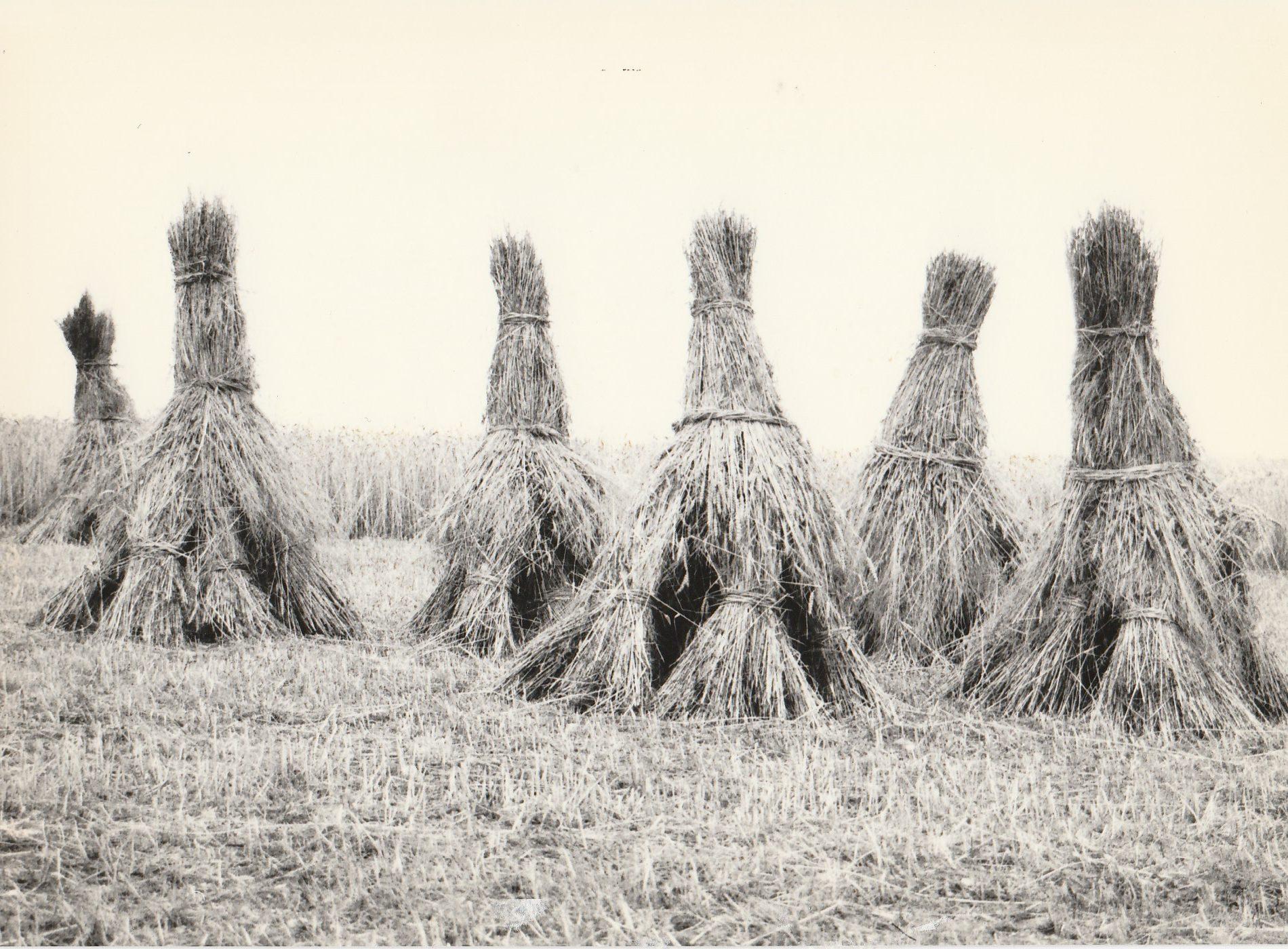 Ein Roggenfeld mit sechs gebundenen Kornrittern . Mit freundlicher Genehmigung von Heinrich Bruch