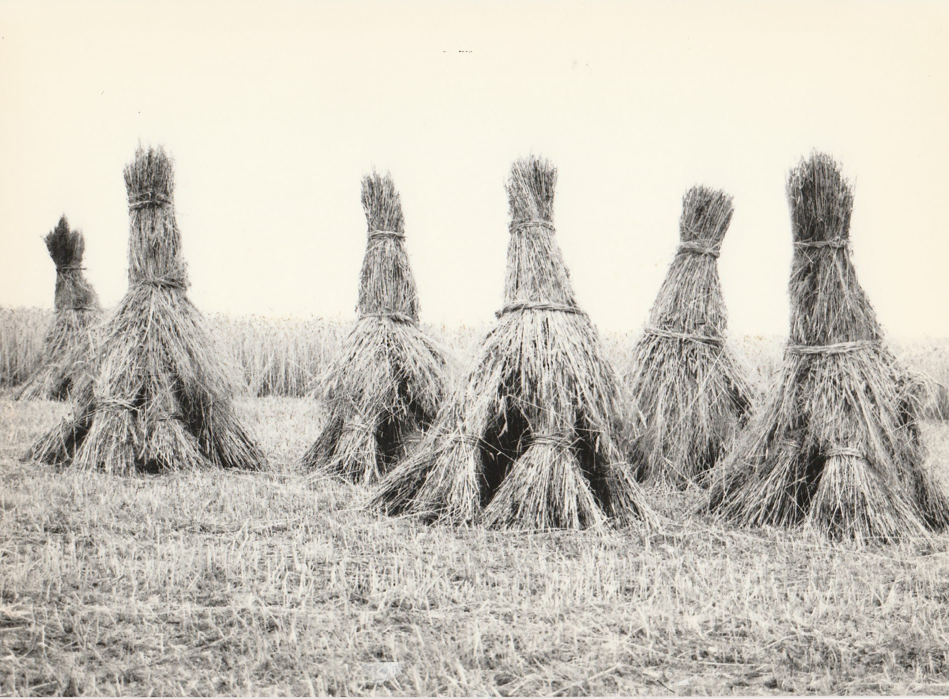 Ein Roggenfeld mit sechs gebundenen Kornrittern.